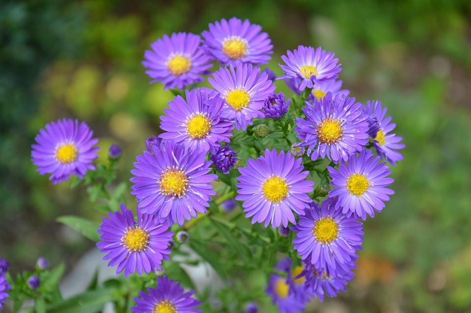 free photo purple bush aster bright close flowers  max pixel, Beautiful flower