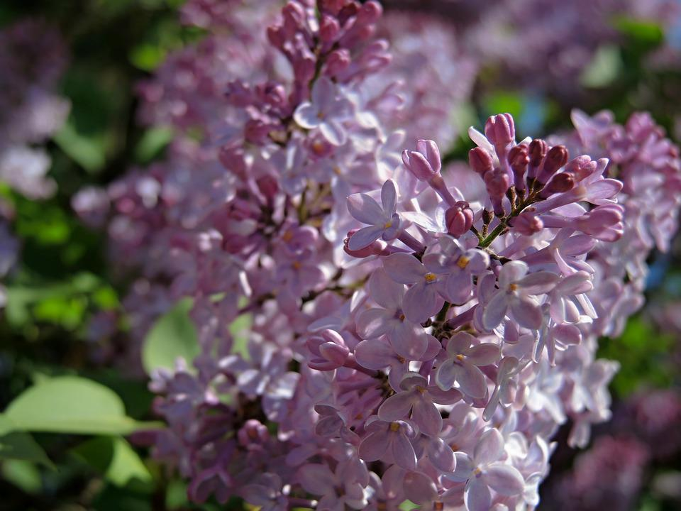 Lilac, Purple, Bush, Flower, Plant, Spring, Nature
