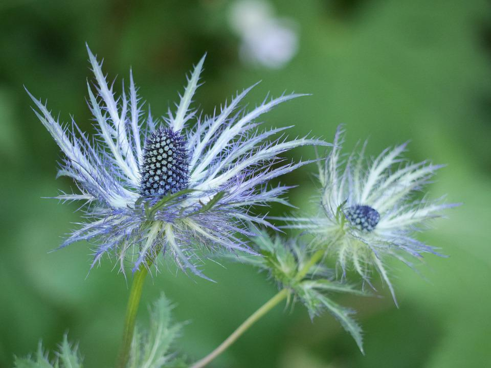 Flower, Chardon, Nature, Plant, Purple, Bloom, Head