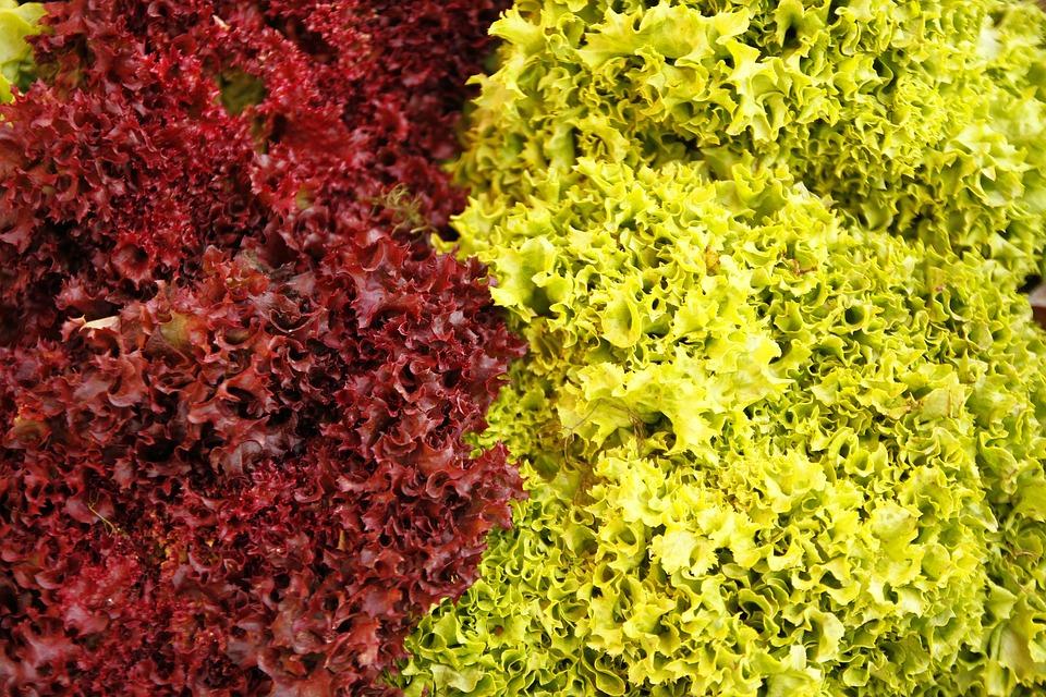 Lettuce, Curly, Purple, Oak, Green, Cichorium Intybus