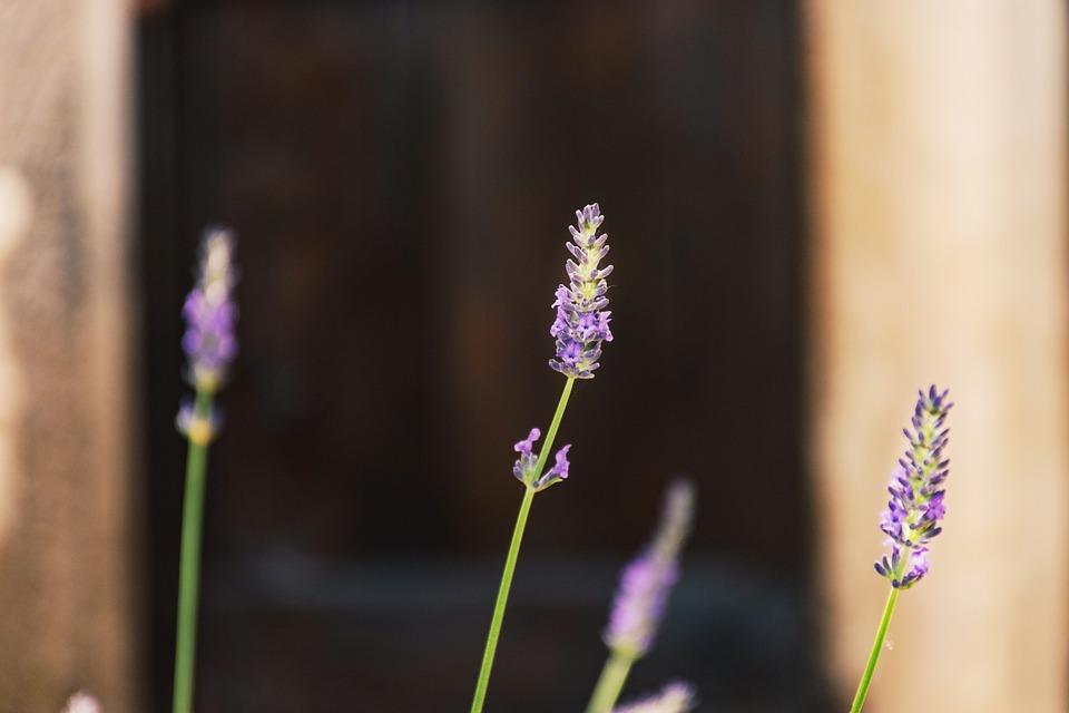 Lavender, Garden, Close Up, Macro, Purple, Perriwinkle