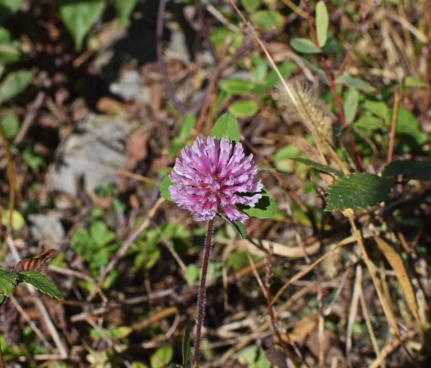 Free Photo Purple Clover Bloom Blossom White Nature Plant Max Pixel