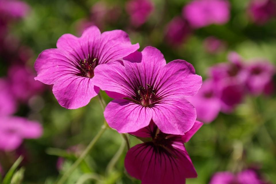 Cranesbill, Blossom, Bloom, Pink, Flower, Plant, Purple