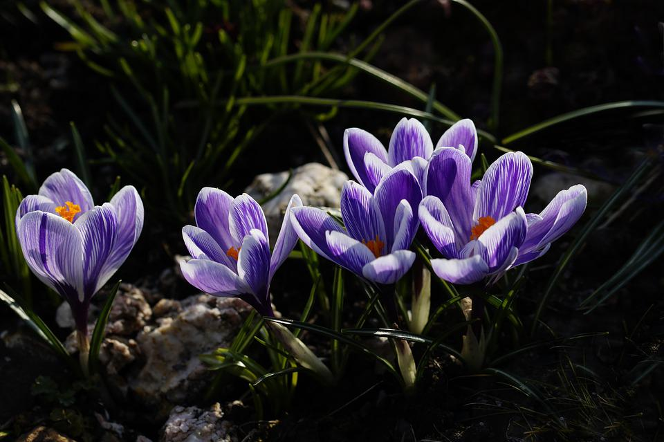 Crocus, Purple, Spring Flower, Early Bloomer, Violet