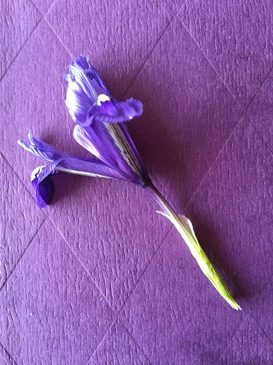 Purple, Lilac, Flower, Iris, Background, Diamond Shape