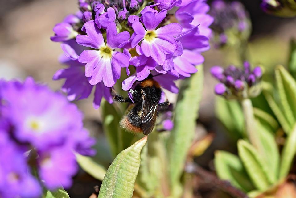 Drumstick, Flower, Purple, Flowers, Early Bloomer