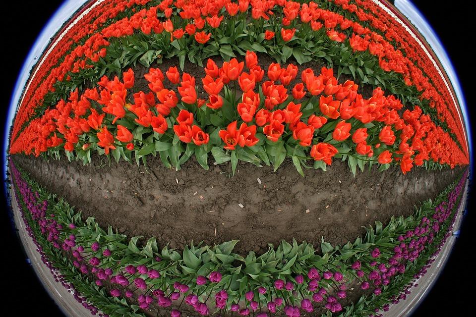 Tulips, Flowers, Fish Eye, Red, Purple, Field, Farm