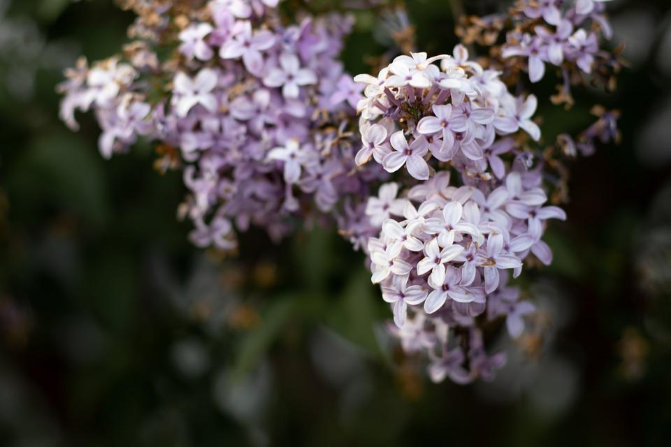 Flowers, Blossom, Bloom, Plant, Nature, Flora, Purple
