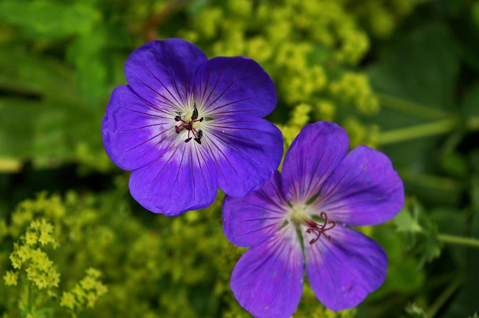 Cranesbill, Plant, Purple Flower, Blossom, Bloom, Flora