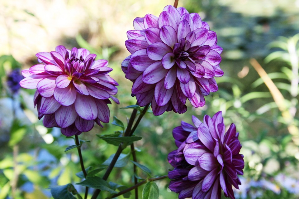 Dahlia, Purple Dahlia, Lilac Flower, Purple Flower