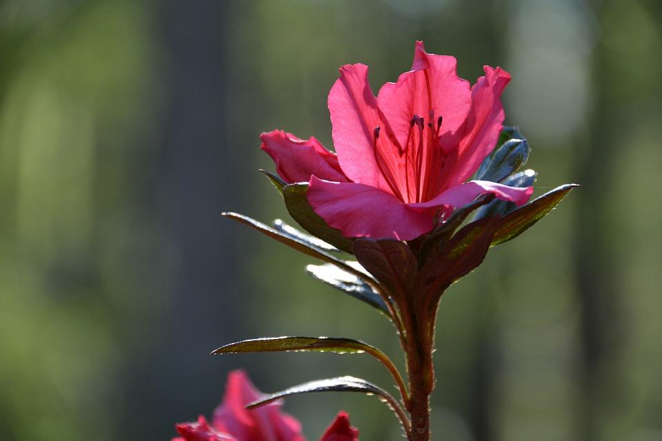 Flower, Purple, Pink, Purple Flower, Blossom, Garden