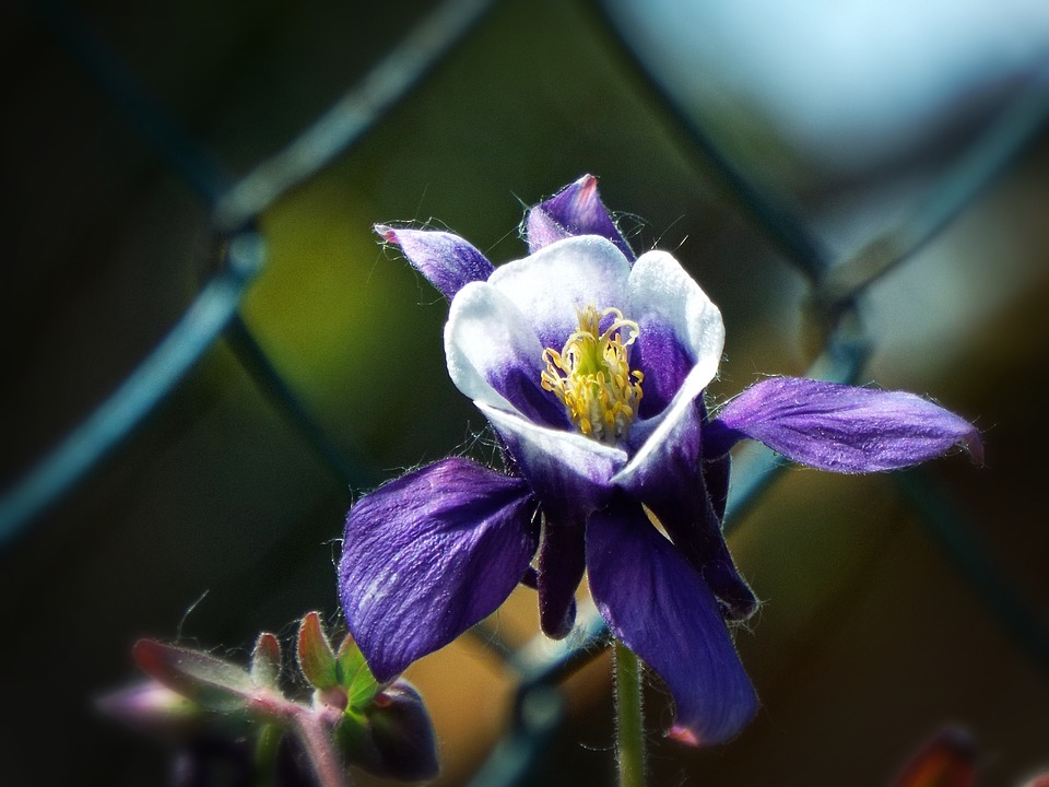 Columbine, Flower, Garden, Purple Flower