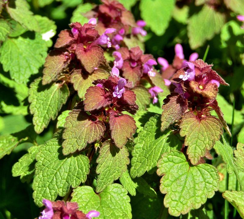 Dead Nettle, Weed, Meadow, Purple Flower, Garden, Green