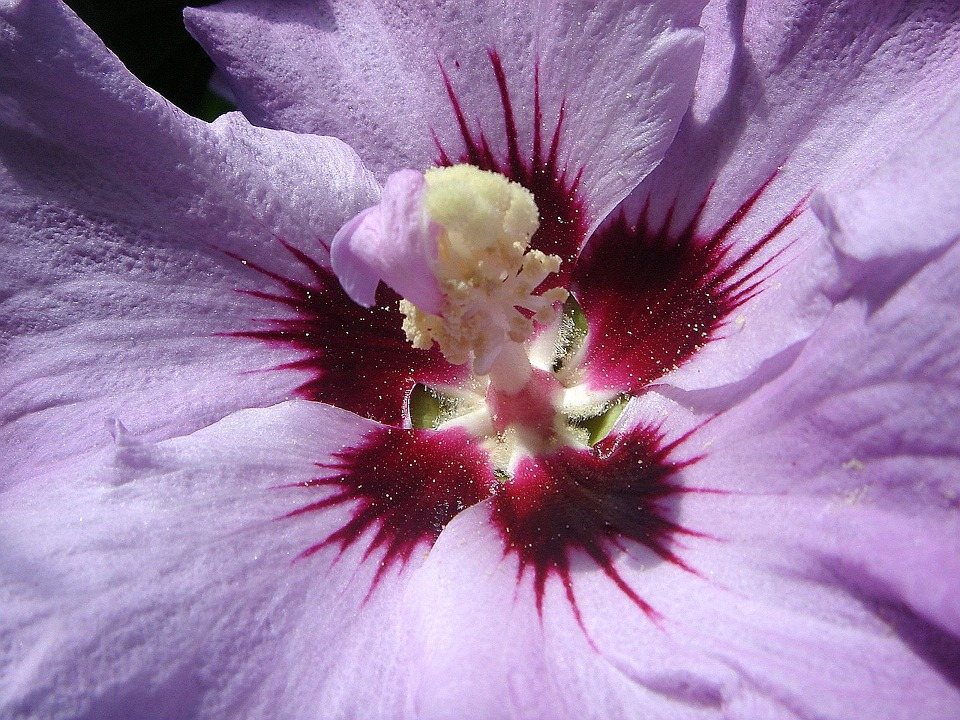 Hibiscus, Flower, Pistil, Purple
