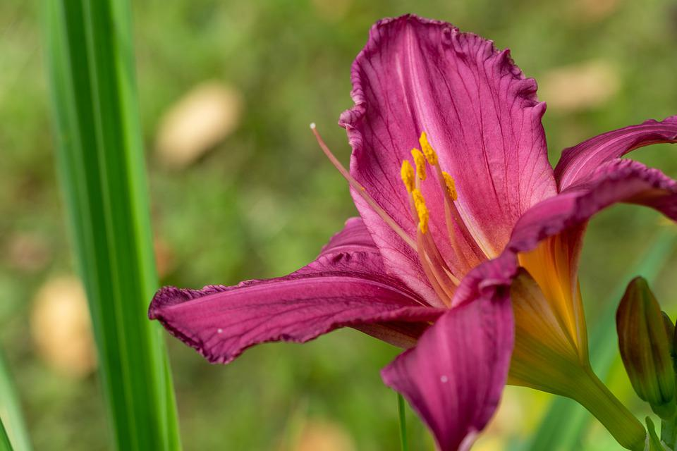 Flower, Daylily, Petals, Purple Flower, Bloom, Blossom