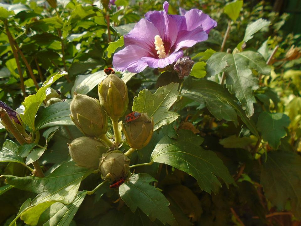 Mallow, Mallow Shrub, Shrub, Flower, Purple Flower