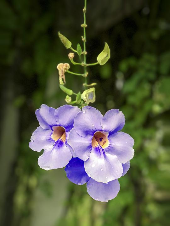 Thunbergia Grandiflora, Blue Thunbergia, Purple Flower