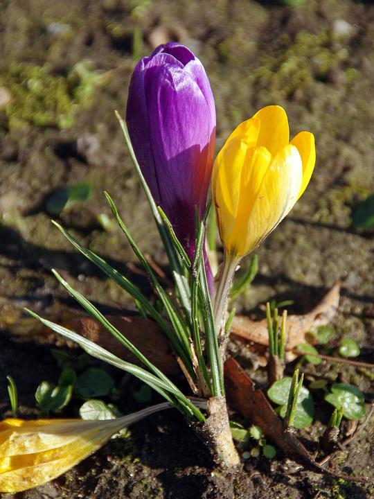 crocus yellow flower purple flower spring color