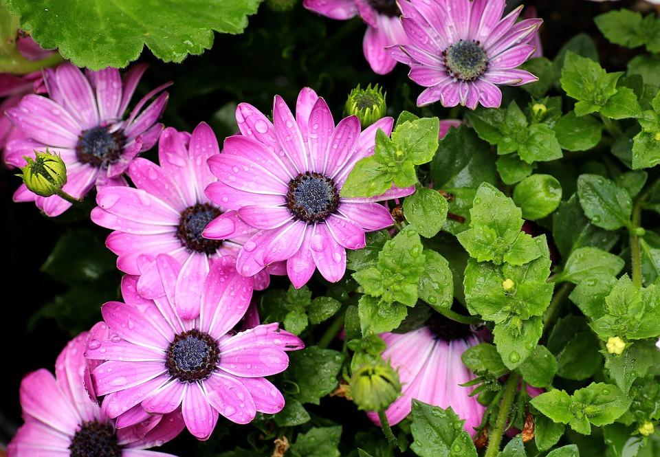 Osteospermum, Purple Flowers, Flowering, Drops Of Water