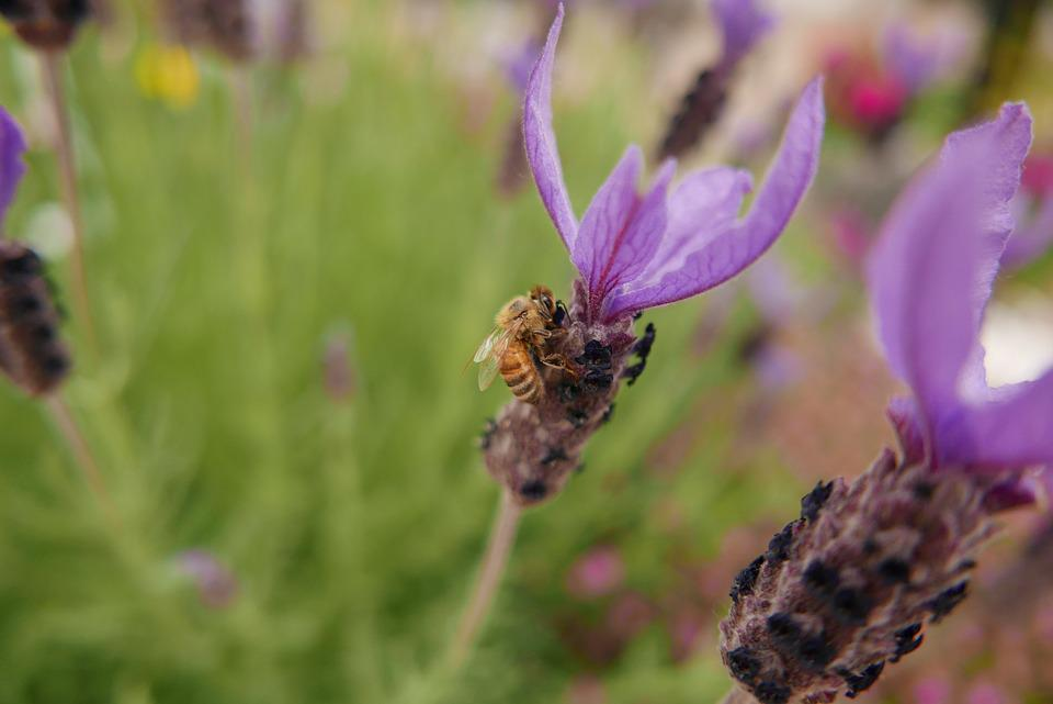 Bee, Purple Flowers, Flowers, Nature, Garden
