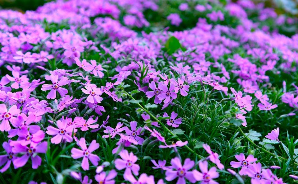 Flowers, Purple Flowers, Field Of Flowers