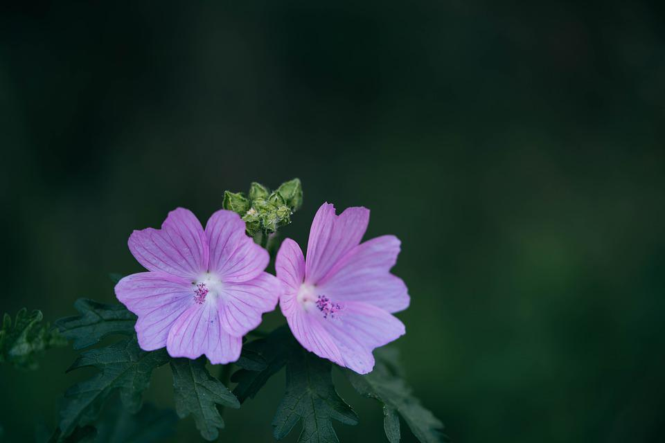 Flowers, Leaves, Bloom, Blossom, Purple Flowers, Pair