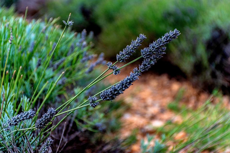 Lavender, Purple Flowers, Periwinkle, Lavender Field