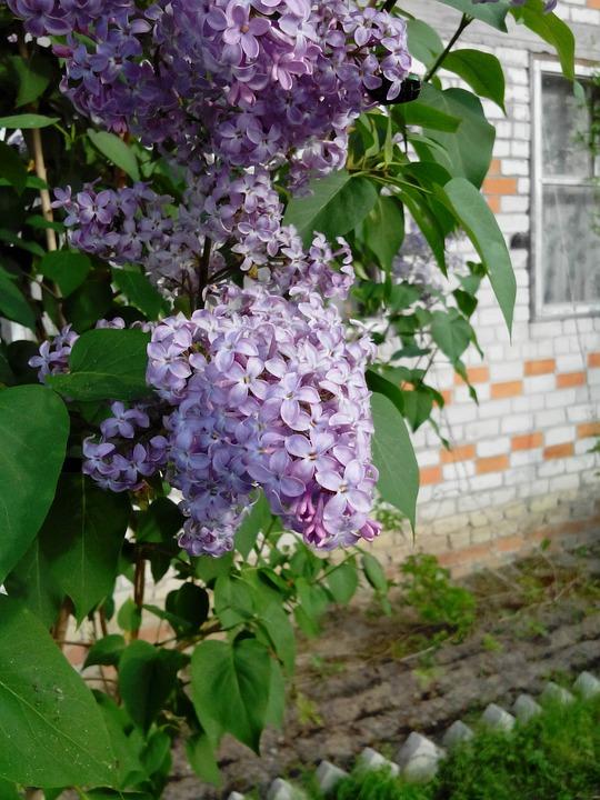 Lilac, Plant, Summer, Closeup, Purple Flowers, Nature