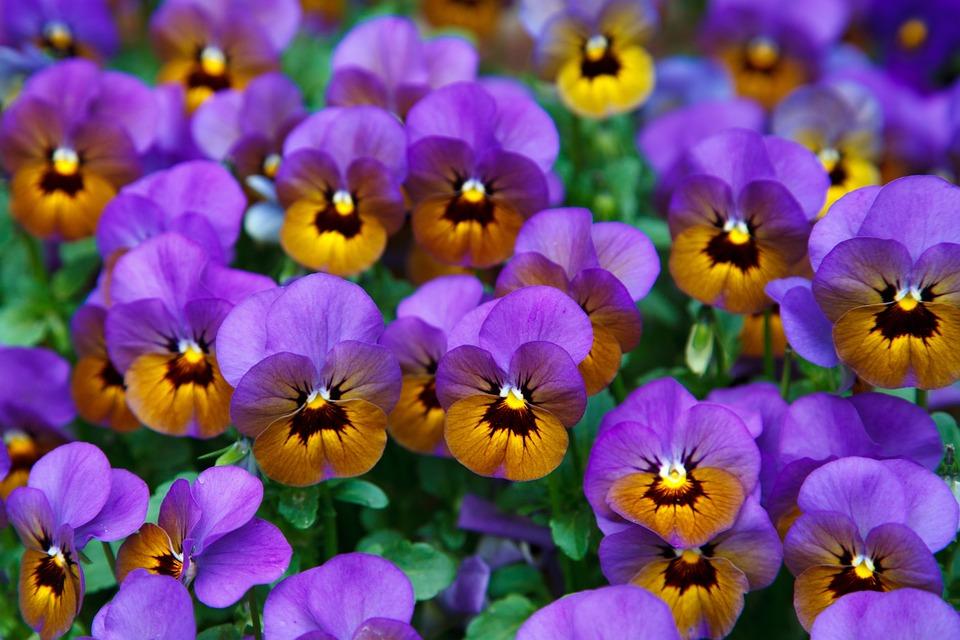 Garden, Flowers, Petals, Pansy, Purple Flowers, Bloom