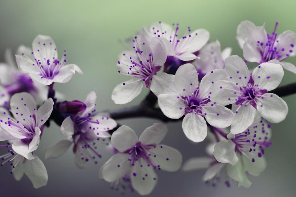 Purple Flowers, Blossom, Bloom, Purple Petals, Pistils