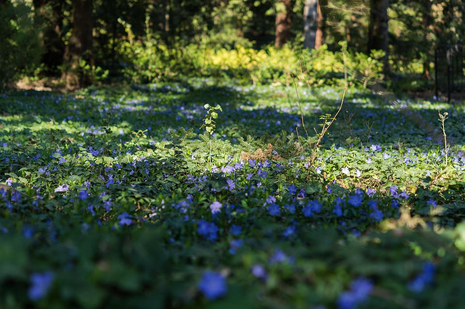 Periwinkle, Flower, Purple, Meadow, Forest, Light, Dusk