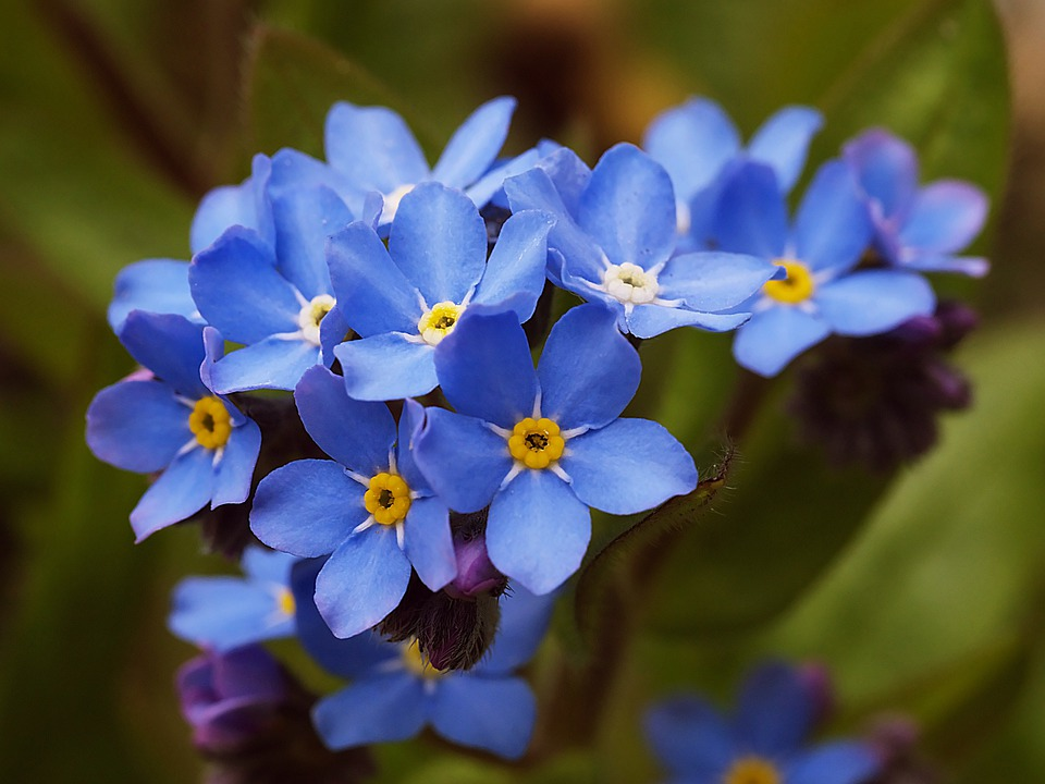 Flower, Spring, Forget Me Not, Blue, Purple, Flowers