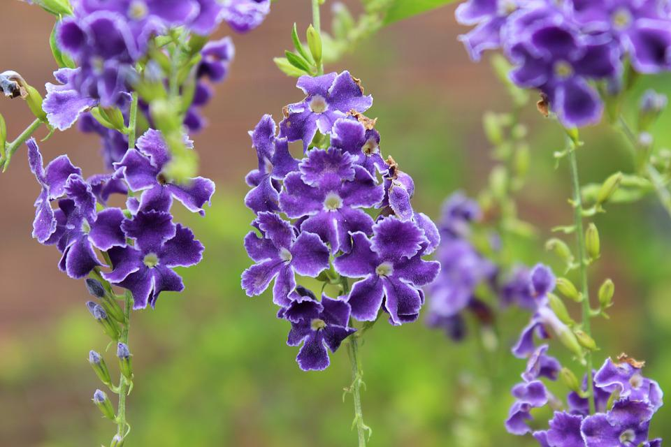 Floral, Purple, Petals, Fragrant, Summer, Spring