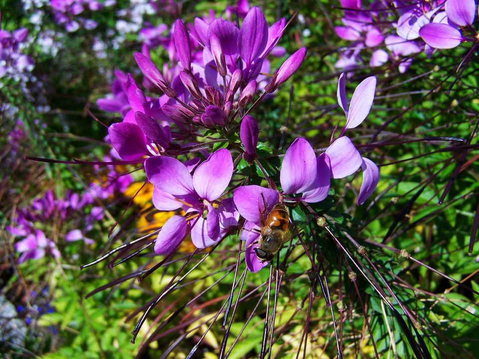 Bee, Bees To Obtain Nectar, Pollen, Purple, Garden