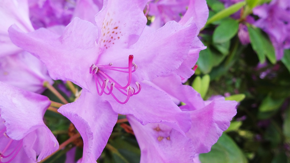 Rhododendron, Purple, Lure, Spring, Garden, Blossom