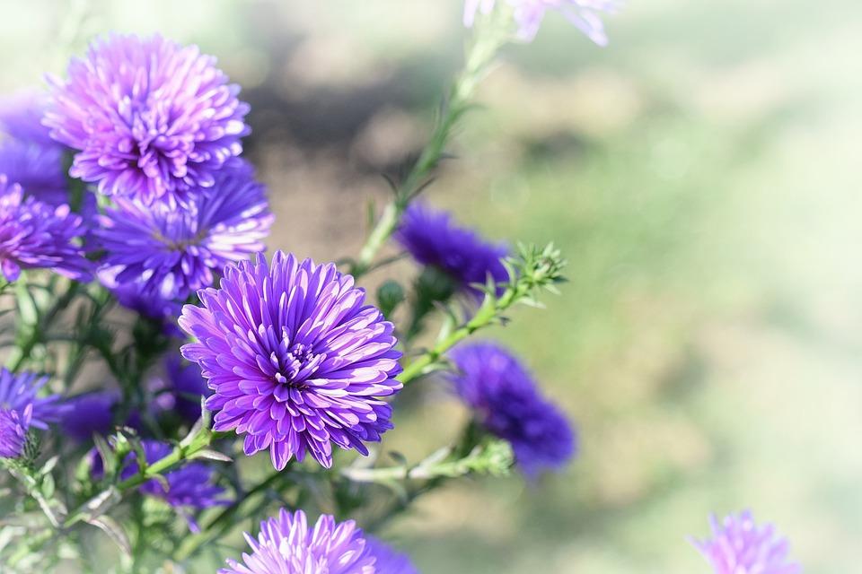 Flower, Garden, Purple, Wallpaper, Background, Nature