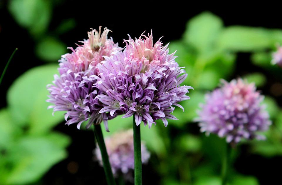 Allium, Ornamental Onion, Flowers, Purple, Garden
