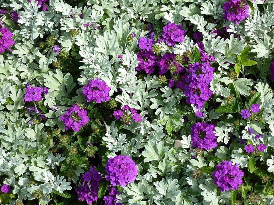 Bed, Purple, Garden, Plant, Splash Of Color, Violet