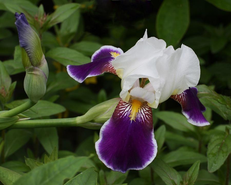 Iris, Purple, Flower, Gardening Card