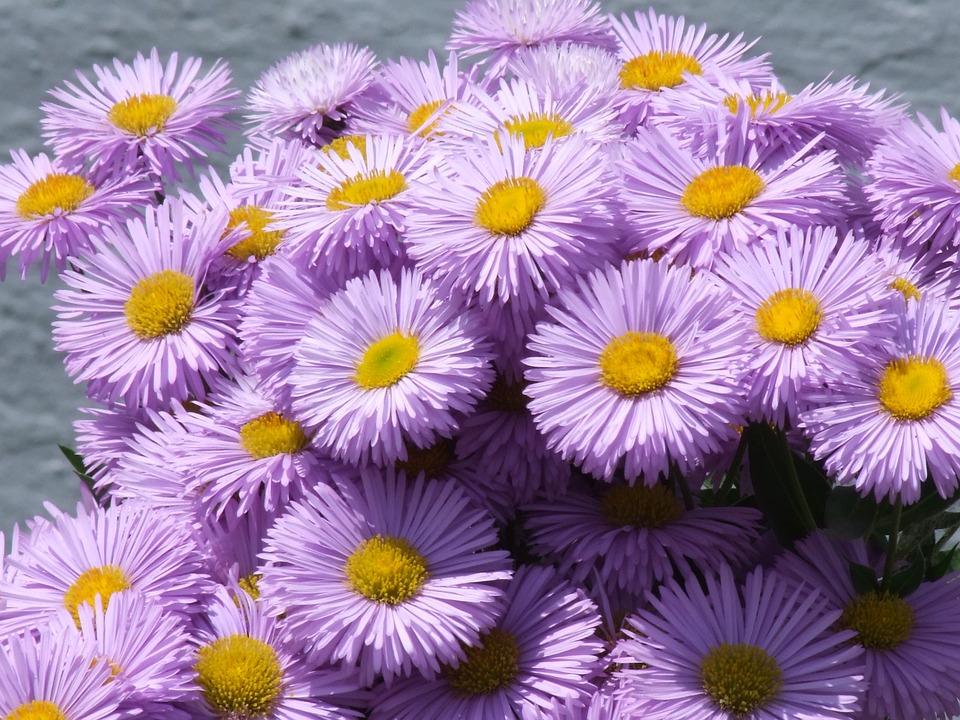 Gorgeous Spokes, Erigeron Speciosus, Flower, Purple