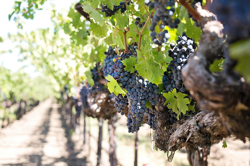 Grapes, Wine Grapes, Purple Grapes, Napa, Wine, Fruit