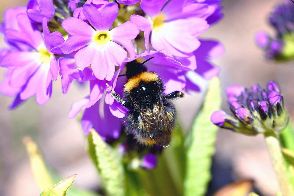 Hummel, Insect, Flower, Flowers, Purple, Drumstick