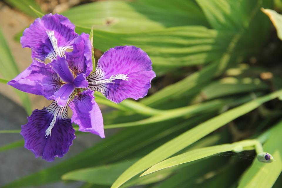 Iris, Purple Fleur-de-lis, Purple Iris