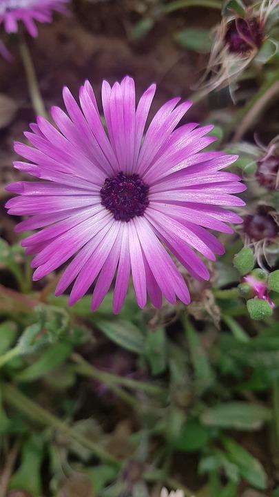 Purple, Flower, Bloom, Blossom, Rose, Garden, Lavender