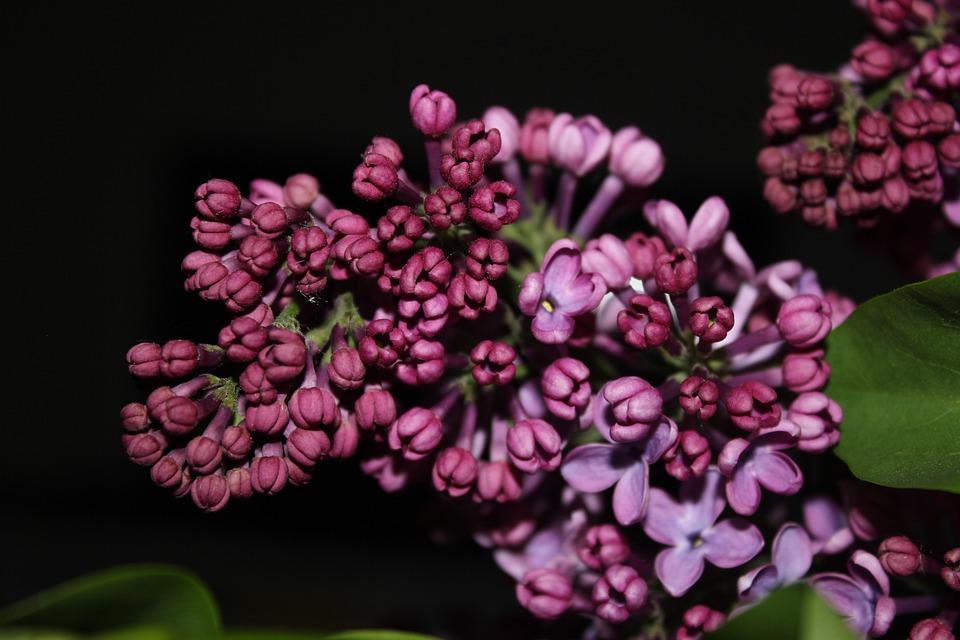 Lilac, Purple, Flower, Spring, Purple Flowers, Nature