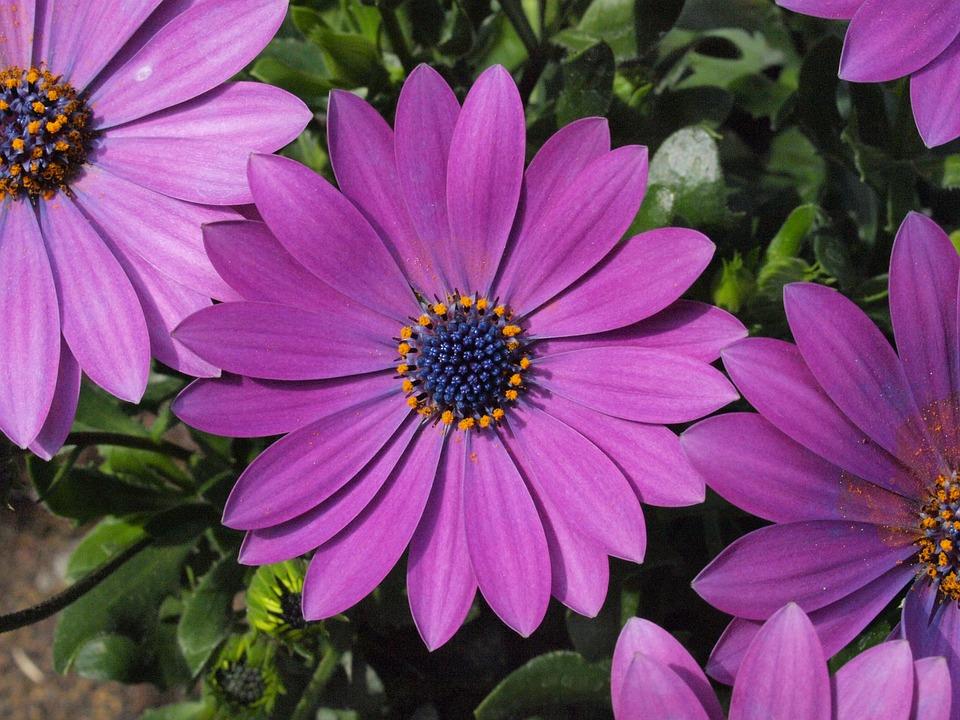 Marguerite, Bornholm Marguerite, Purple, Blossom, Bloom