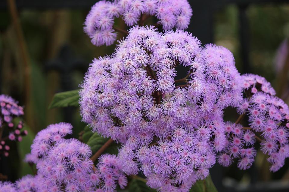 Purple Mist Flower, Purple, Flower, Soft, Fluffy, Bloom