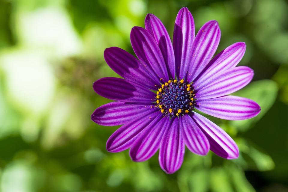 Daisy, Purple Flower, Purple, Flower, Nature, Floral
