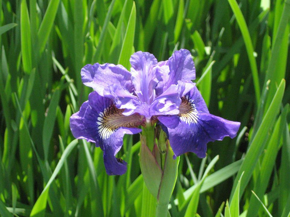 Iris, Purple, Flower, Nature, Blossom, Green, Violet