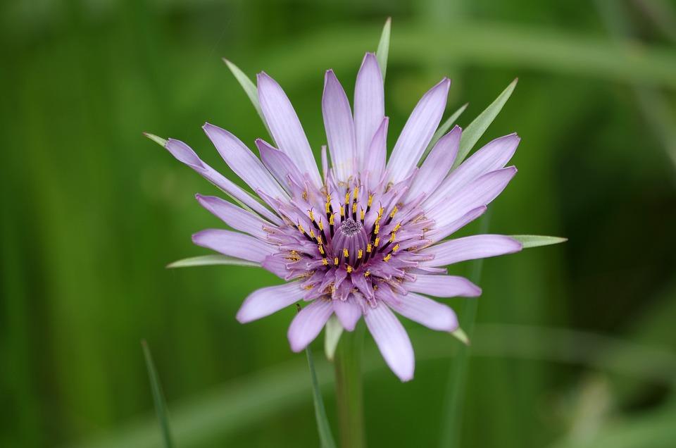 Purple, Flower, Plant, Salsify, Nature, Lavender